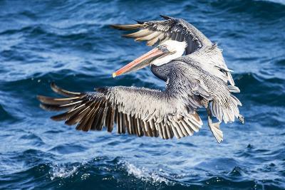 Ecuador, Galapagos Islands, North Seymour Island, Brown Pelican Flying-Ellen Goff-Photographic Print