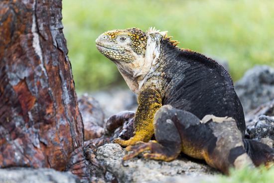 Ecuador, Galapagos Islands, Plaza Sur, Male Land Iguana-Ellen Goff-Photographic Print