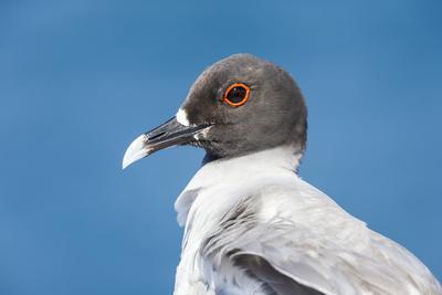 https://imgc.artprintimages.com/img/print/ecuador-galapagos-islands-plaza-sur-swallow-tailed-gull-portrait_u-l-q13cbuh0.jpg?p=0