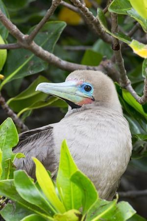 https://imgc.artprintimages.com/img/print/ecuador-galapagos-islands-red-footed-booby-perching-in-mangrove-branches_u-l-q13b8d50.jpg?p=0
