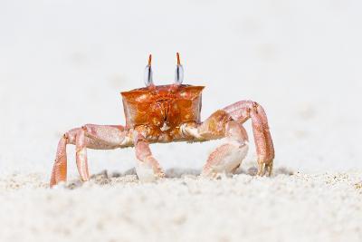 Ecuador, Galapagos Islands, San Cristobal, Cerro Brujo. Ghost Crab Portrait-Ellen Goff-Photographic Print