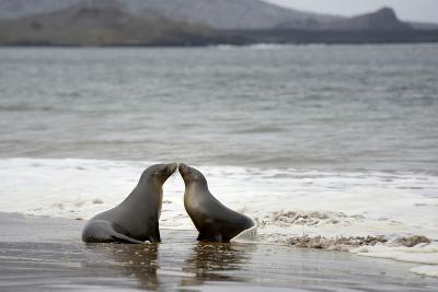 Ecuador, Galapagos Islands, Santiago Island. Galapagos Sea Lion-Kevin Oke-Photographic Print