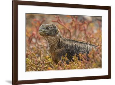 Ecuador, Galapagos National Park. Land iguana in red portulaca plants.-Jaynes Gallery-Framed Premium Photographic Print