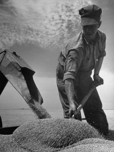 Farm Worker Shoveling Harvested Wheat by Ed Clark