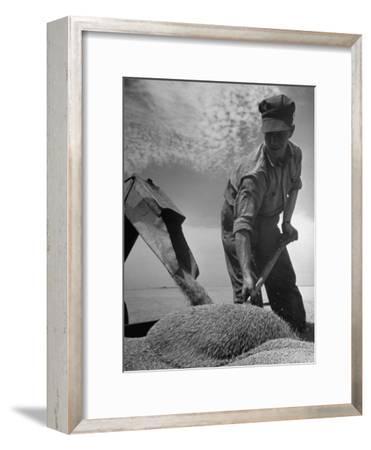 Farm Worker Shoveling Harvested Wheat