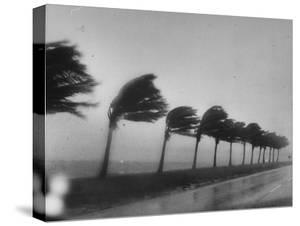 Palm Trees Blowing in the Wind During Hurricane in Florida by Ed Clark