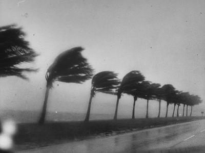 Palm Trees Blowing in the Wind During Hurricane in Florida