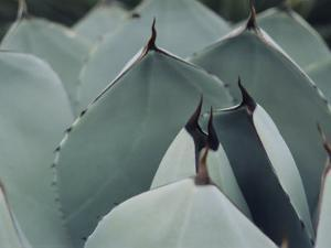 A Close View of Agave Leaves by Ed George
