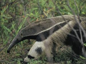 A Giant Anteater by Ed George