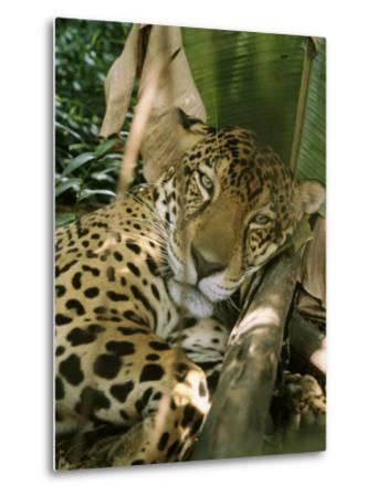 A Jaguar Rests on the Jungle Floor