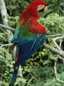 A Scarlet Macaw Sits on a Tree Branch in Venezuela by Ed George