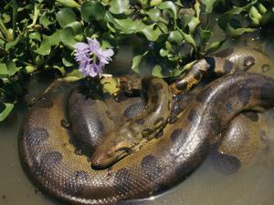 An Anaconda Basks in the Sun Next to Some Flowers in a River by Ed George