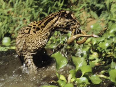 An Ocelot Grabs an Immature Anaconda out of a Stream