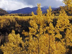 Aspen Trees in Autumn Hues Glow Golden in Denali National Park by Ed George