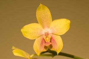 Close Up of a Moth Orchid, Phalaenopsis Species by Ed George