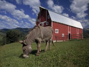 Donkey Grazing Near a Large Red Barn by Ed George