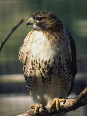 Red Tailed Hawk, New England, MA