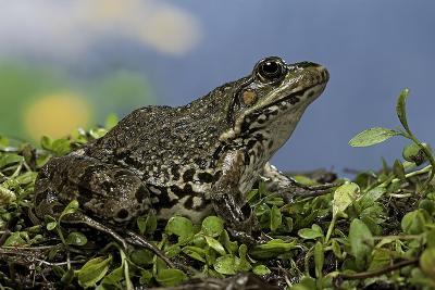 Edible Frog-Paul Starosta-Photographic Print