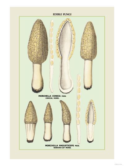 Edible Fungi: Morels--Art Print