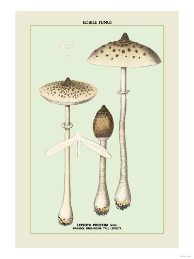 Edible Fungi: Parasol Mushroom--Art Print
