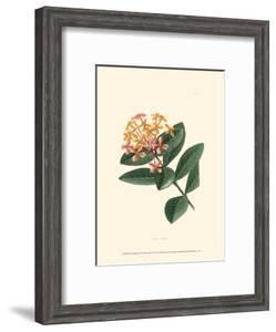 Flowering Shrub III by Edmonston & Douglas