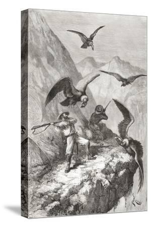 Édouard François André and Companion Being Attacked by Condors Near Calacali
