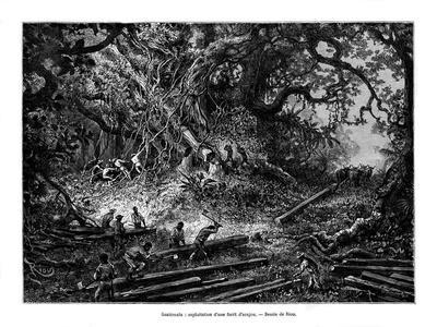 Mahogany Tree Logging, Guatemala, 19th Century
