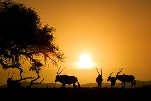 Silhouettes of a group of Gemsboks, Oryx gazella, at sunset. by Edson Vandeira