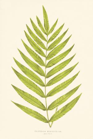 Polypodium Meniscifolium