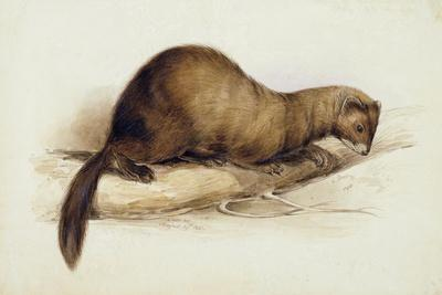 A Weasel, 1832
