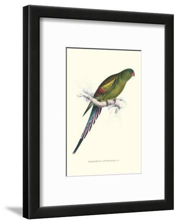 Black Tailed Parakeet(Female) - Polypelis Anthopeplus
