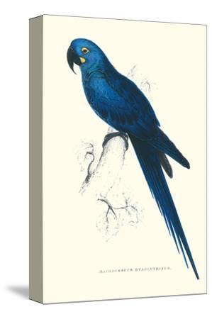 Blue and Yellow Macaw - Ara Ararauna