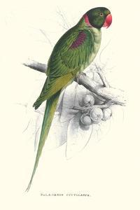 Footed Parakeet - Psittacula Eupatria by Edward Lear