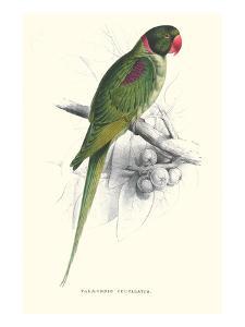 Footed Parakeet - Psittacula Eupatria by Edward Lear