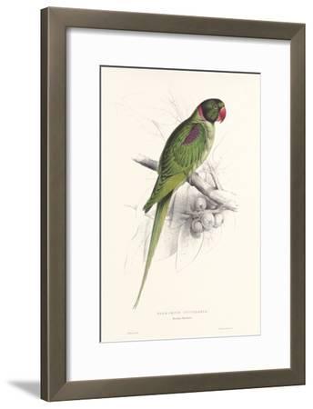 Hooded Parakeet
