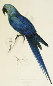 Hyacinthe Maccaw, Macrocercus Hyacinthanus, Illustration of the Family of Psittacidae, or Parrots by Edward Lear