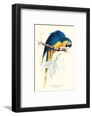 Hyacinthine Macaw - Hyacinthine Anodorhynchus Leari