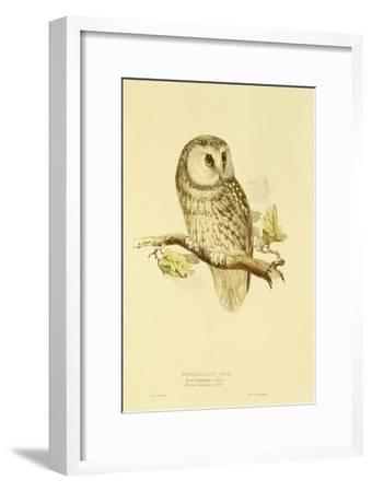 Illustration of Tengmalm's Owl