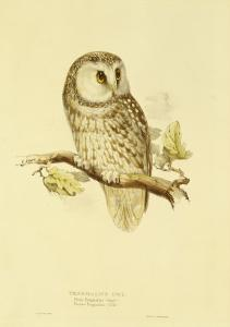 Illustration of Tengmalm's Owl by Edward Lear