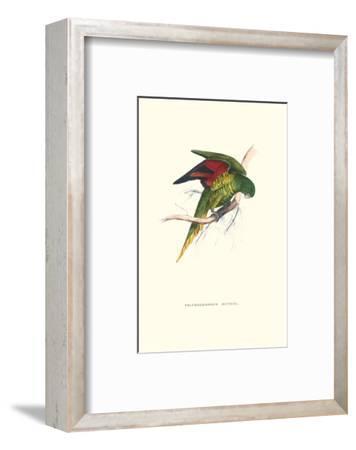 Lesser Maton's Parakeet -Trichoglossus Haematodus