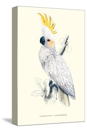 Lesser Sulpher-Crested Cockatoo - Cocatua Sulphurea
