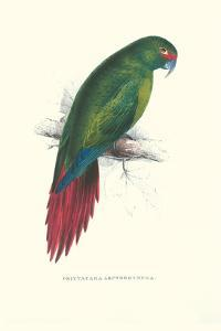 Long Billed Parakeet Macaw Enicogaathus Leptorhynchus Araucaria by Edward Lear