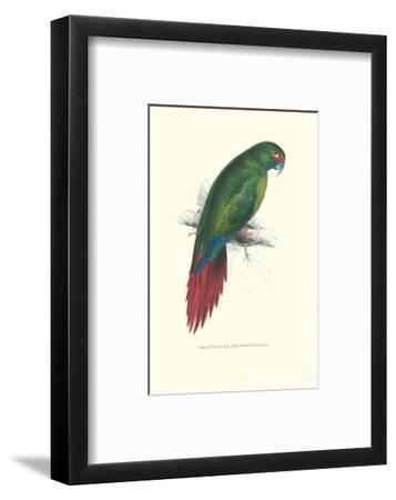 Long Billed Parakeet Macaw Enicogaathus Leptorhynchus Araucaria