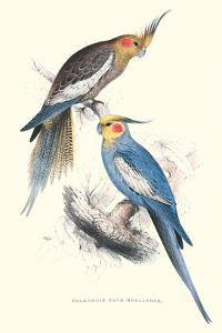 New Holland Parakeets -Nynphicus Hollandicus by Edward Lear