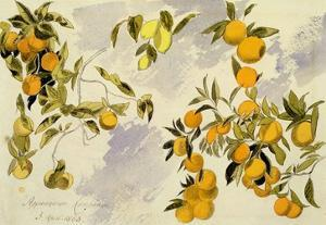 Orange Trees, 1863 (W/C, Pen and Ink over Graphite on Heavy Wove Paper) by Edward Lear