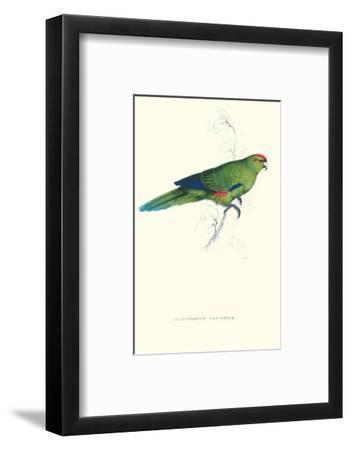 Pacific Parakeet - Cyanorhamphus Novaevelandiae
