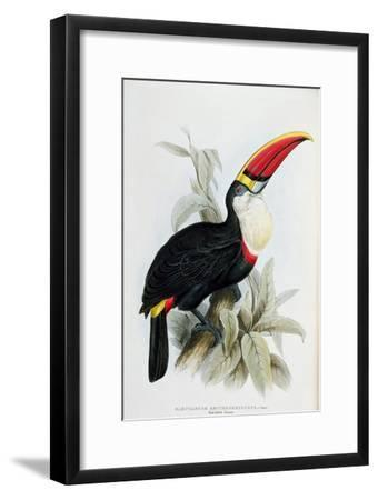 Red-Billed Toucan, from A Monograph of the Ramphastidae, or Family of Toucans, by John Gould
