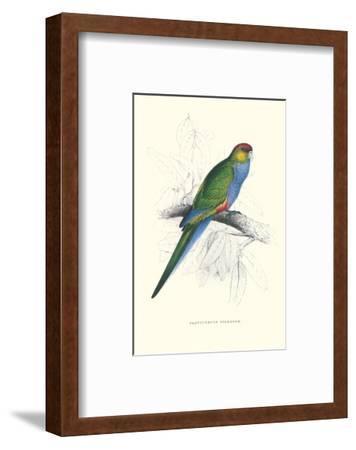 Red Capped Parakeet Female - Purpureicephalus Spurius