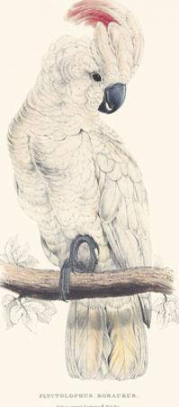 Salmon-Crested Cockatoo