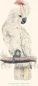 Salmon-Crested Cockatoo by Edward Lear